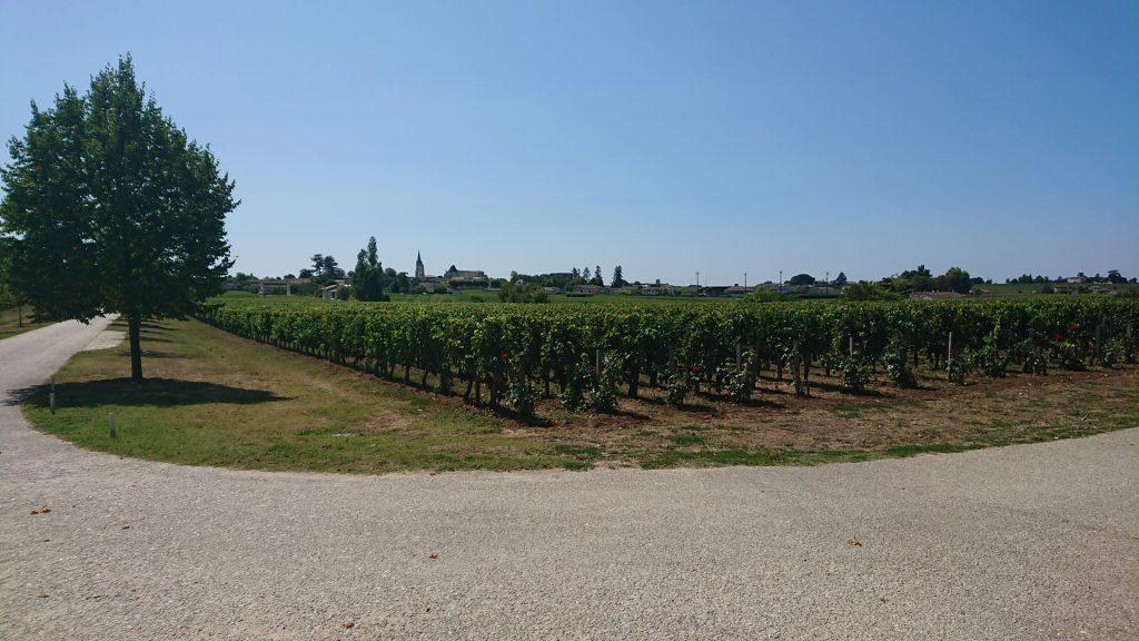 Les vignes du Château Soutard